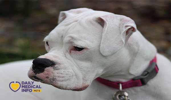 كلب البوكسر الأبيض White Boxer Dog
