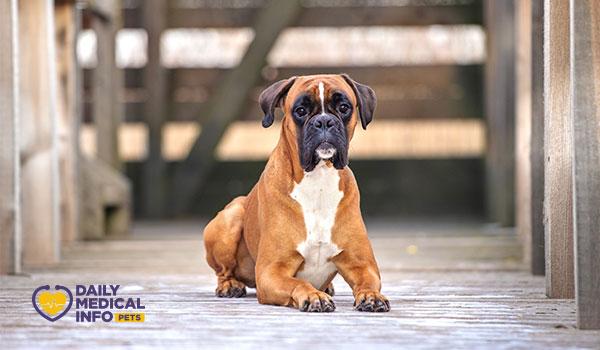 كلب البوكسر الألماني German Boxer Dog
