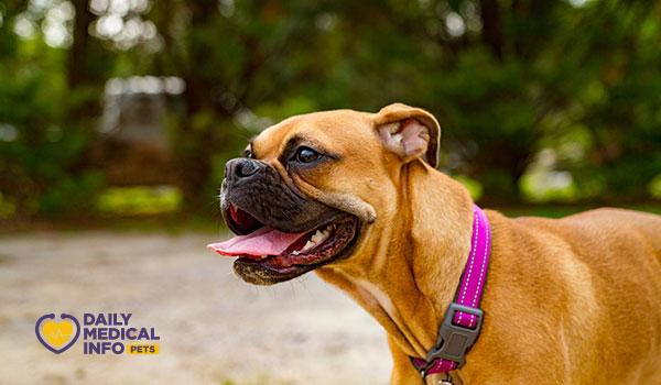 كلب البوكسر الأمريكي American Boxer Dog