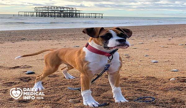 كلب البوكسر الإنجليزي أو البريطاني United Kingdom Boxer Dog