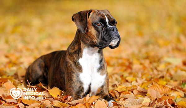 كلب البوكسر Boxer