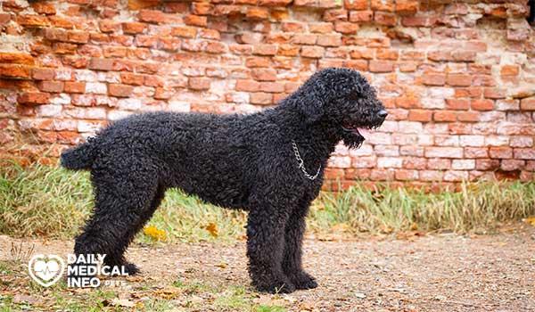 كلب الترير الروسي الأسود Black Russian terrier