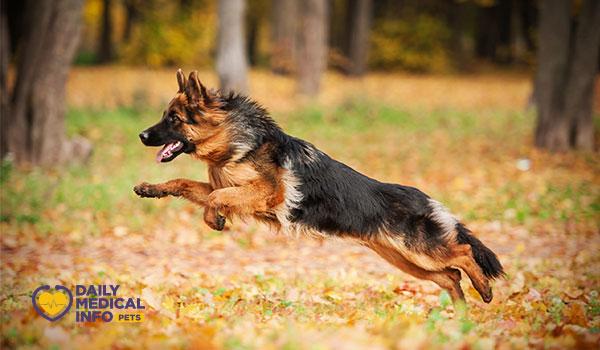 كلب الجيرمن شيبرد German shepherd dog