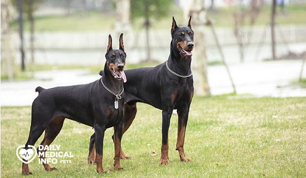 كلب الدوبرمان Doberman pinscher