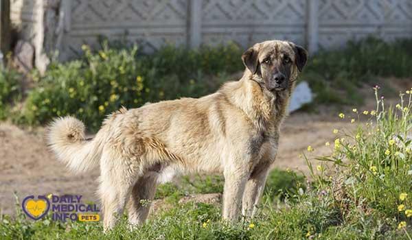 كلب الراعي الأناضولي Anatolian shepherd