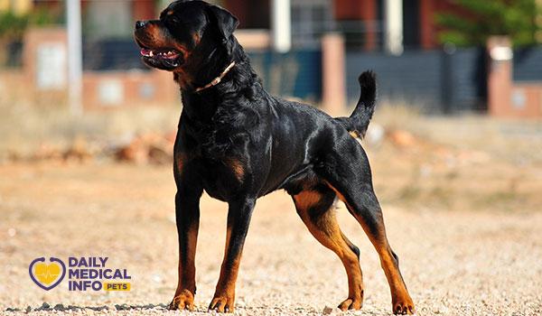 كلب الروت وايلر Rottweiler