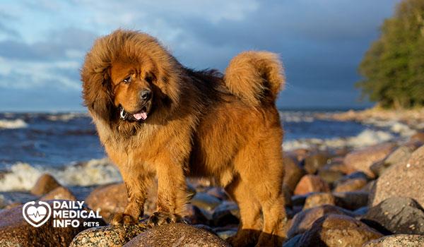 كلب الماستيف التيبتي Tibetan mastiff