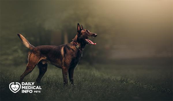 كلب المالينو البلجيكى Belgian Malinois