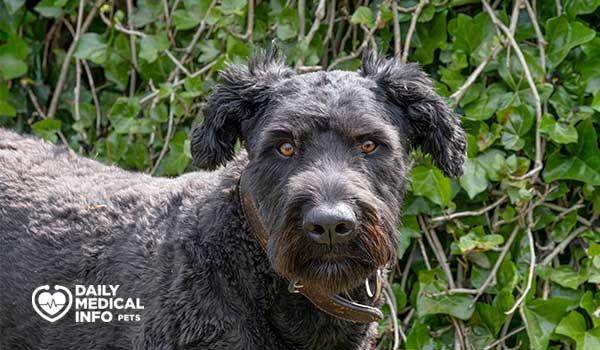 كلب بوفي دي فلاندر Bouvier des Flandres
