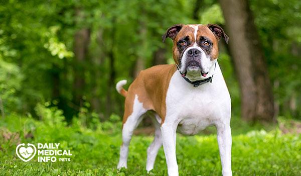 كلب بوكسر بولدوج الهجين Boxer Bulldog Mix