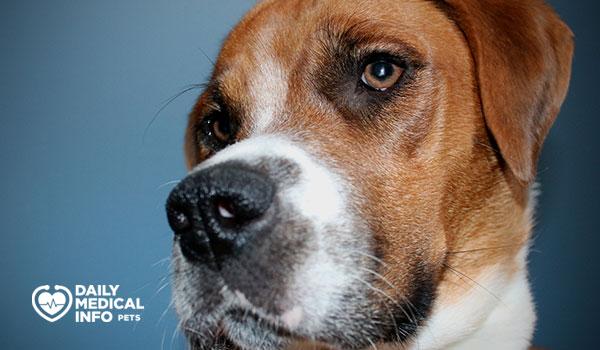 كلب بوكسر بيجل الهجين Boxer Beagle Mix
