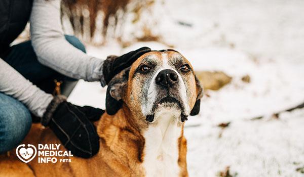 كلب بوكسر لابرادور الهجين Boxer Lab Mix