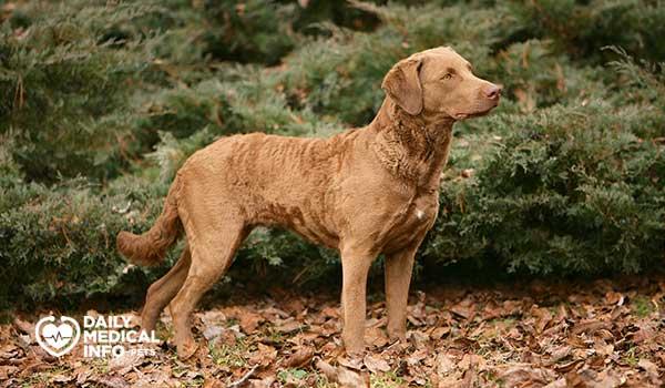 كلب تشيسابيك باي ريتريفر Chesapeake Bay retriever