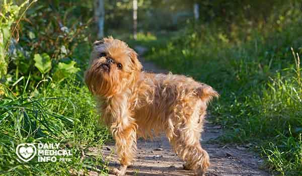 كلب جربفون ذو الشعر الناعم