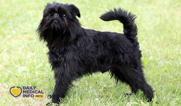 كلب جريفون أسود