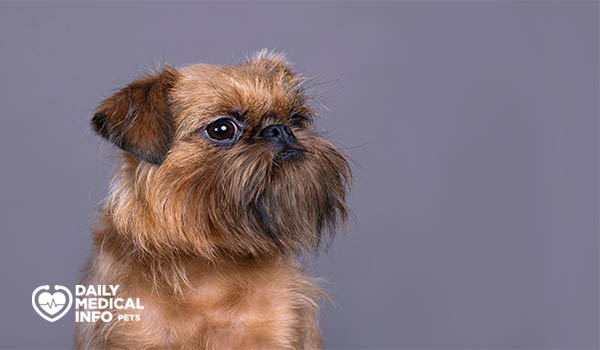 كلب جريفون باللون الأحمر