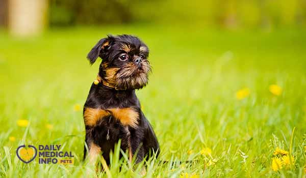 كلب جريفون باللون الأسود والنحاسي