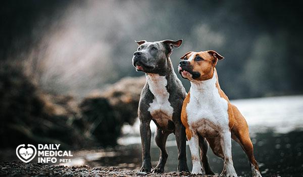 كلب ستافوردشاير الأمريكي American Staffordshire terrier