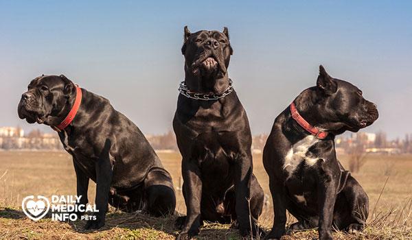 كلب كين كورسو الأسود