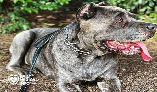 كلب كين كورسو الرمادي البني المخطط