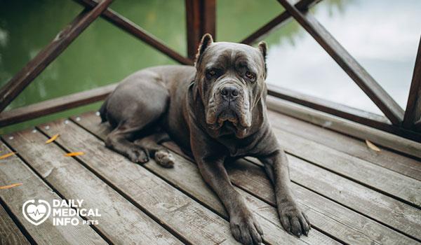 كلب كين كورسو الرمادي