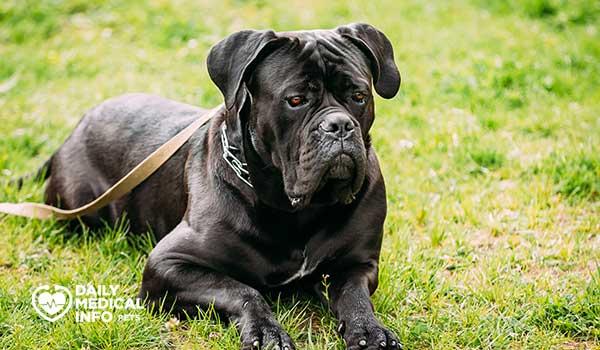 كلب كين كورسو Cane Corso