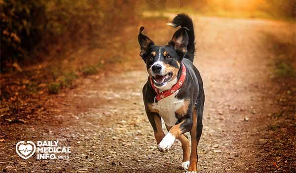 كلب Appenzeller sennenhund