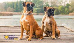 مواصفات كلب البوكسر